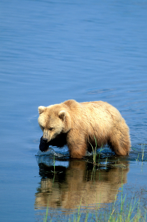 USA, Alaska, Katmai National Park, Grizzly Bear (Ursus arctos) walks through Brooks River fishing for spawning red salmon