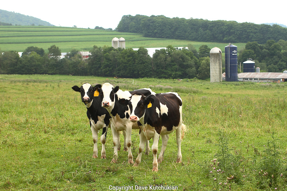 3 young heifers posing for portrait