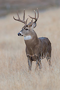 A Whitetail Buck (Odocoileus virginianus) poses on  hillside in Missoula, Montana