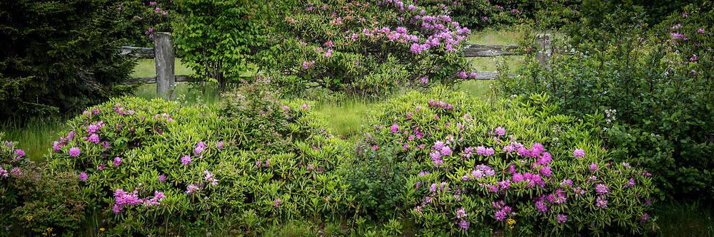 Catawba Rhododendron along the Appalachian Trail at Carver's Gap Tennessee. Catawba Rhododendron along the Appalachian Trail at Carver's Gap Tennessee.
