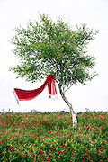 a red scarf hanging in a tree, is blowing in the wind