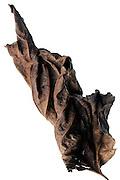 dried up crumpled sunflower leaf