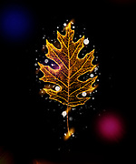 Digitally enhanced neon effect image of a single Oak leaf on black background