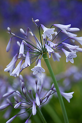 Agapanthus 'Liam's Lilac'. African lily