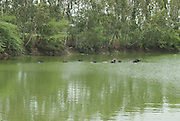 India, Rajasthan Water buffalo in a lake