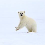 A very young polar bear cub (Ursus maritimus), probably only a few months old, standing up to take a look around. This cub was alone with its mother. Given that polar bears generally have two cubs, it is possible that something happened to this cub's sibling. Photographed in Svalbard.