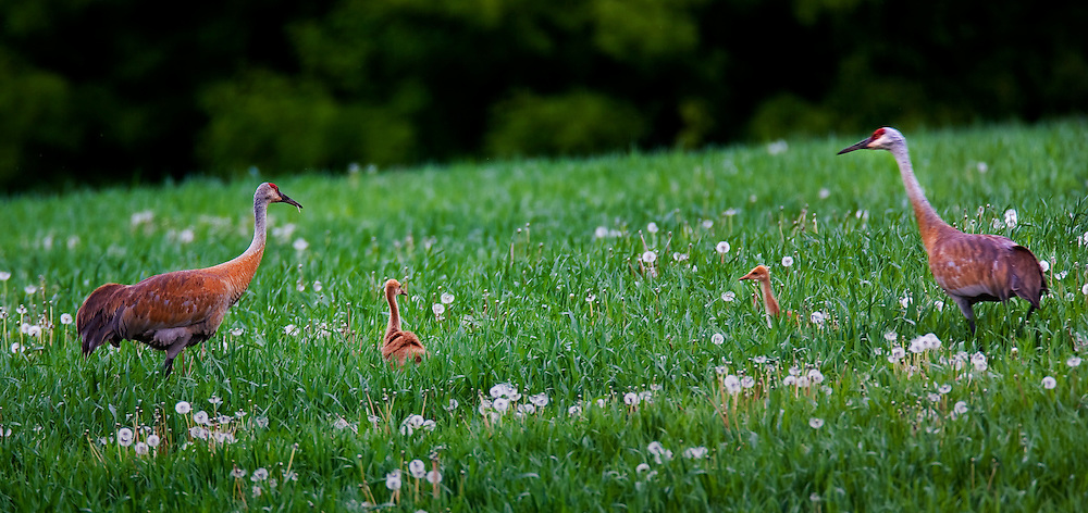 Sandhill Cranes with two chicks in a field outside of Mukwonago, WI.  Photo by Tom Lynn