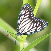Cyclosia papilionaris Moth. Chaloem Phrakiat Thai Prachan National Park, Thailand.