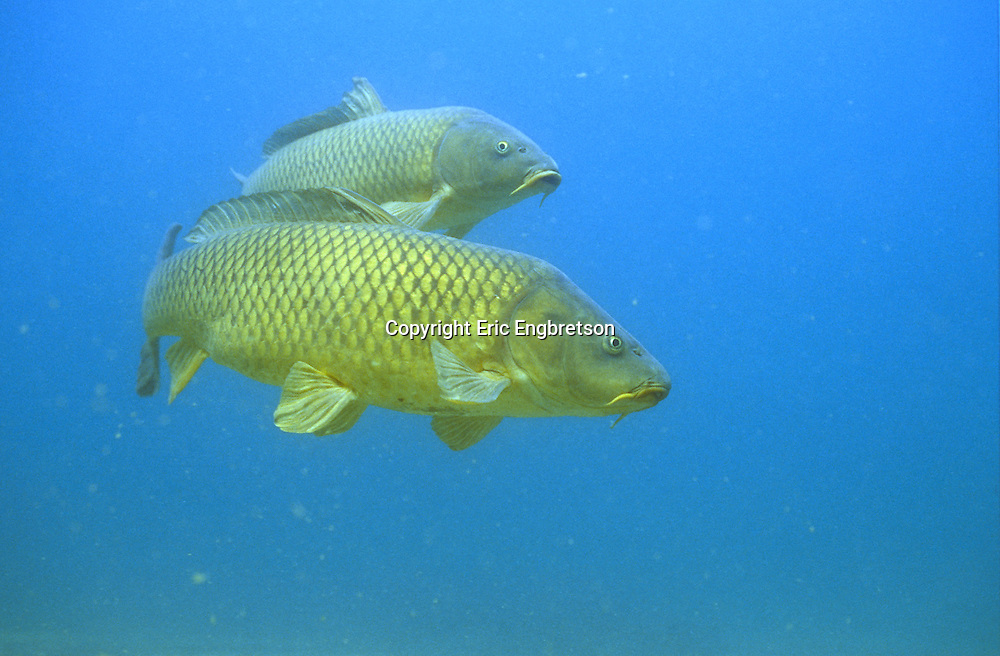 Pair of Common Carp (Lake Michigan)<br /> <br /> ENGBRETSON UNDERWATER PHOTO