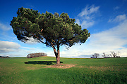 single pine tree in an agricultural field during spring season