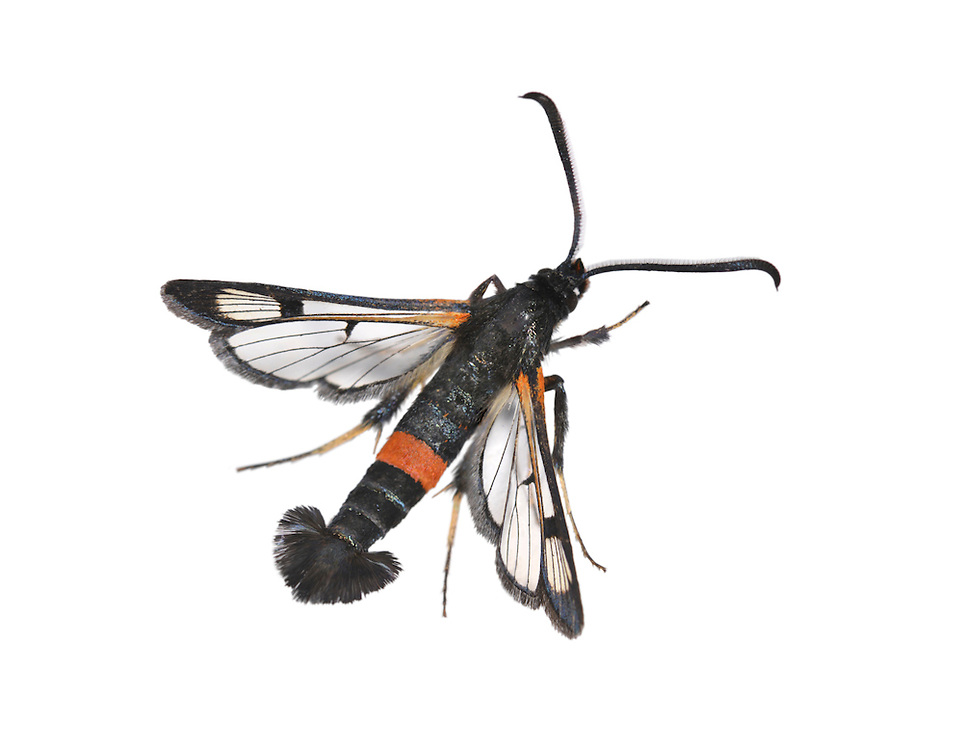 Large Red-belted Clearwing - Synanthedon culiciformis<br /> 52.007 BF381