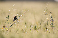 Juvenile Cape Weaver perched on a long grass stalk amongst a field of oats, Overberg, Western Cape, South Africa