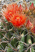 Barrell cactus, in bloom, late sumer, Green Valley, Arizona,