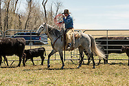 Cowboys, dragging calves to the fire, branding, Lazy SR Ranch, Wilsall, Montana, Dewey Zupan, MODEL RELEASED. PROPERTY RELEASED