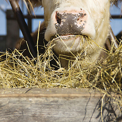 "The Morgen's always grow their own hay and never buy it. The cows are raised until they are 25 to 35 months old compared to traditional cows which are only kept till they are 12 to 14 months. "" So, double the time. That's the slow (food) part,"" said Tod."