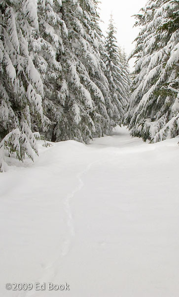 Bobcat tracks in the snow along a Mount Tahoma Trails cross country ski trail, Washington, USA