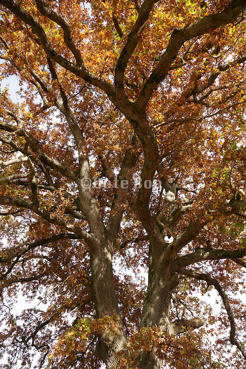 looking up inside the crown a big oak tree during autumn season