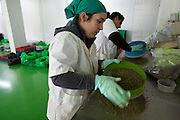 Female workers work sifting marijuana during on of the stages of production   at a government-approved medical marijuana farm hidden in the Galilee hills in Safed in northern Israel January 1,2013. Many of the plants are named after patients who died from their illnesses such as cancer...The Tikun Olam  company that runs the farm  is the largest in Israel and serves thousands of patients who have been issued special licenses  from the Ministry of Health to receive medical marijuana ...Researchers in israeli claim that cannabis can not only help bring relief to cancer patients in  pain ,  lower high blood pressure,improve appetite , to even helping with the recovery from a heart attack or post traumatic stress disorder ...Tikun Olam developed a new strain from cross breeding which has removed nearly all the THC (tetrahydrocannabinol) which is what makes one feel stoned or high. This new strain has a high concentration level of cannabidiol (CBD) which has  anti-inflammatory and anti-anxiety agents. This new strain is attractive to patients who  old or are children or work and sensitive to THC...The company produces not only the flowers and ready rolled cannabis cigarettes but also cannabis-laced chocolates, cookies, honey, toffee, ointments, gum and cakes ...Marijuana is illegal in Israel but there are over 10,000 Israelis taking medical marijuana to treat a range of illnesses from Cancer, Parkinson's disease to post traumatic stress disorder .(Photo by Heidi Levine/Sipa Press)..