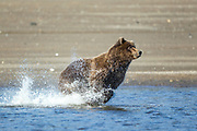 Alaskan brown bear fishing for silver salmon in Lake Clark National Park