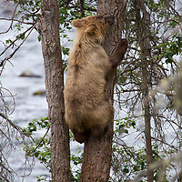 USA, Alaska, Katmai. Brown bear cub climbs tree to safety at Brooks Falls, Katmai National Park.
