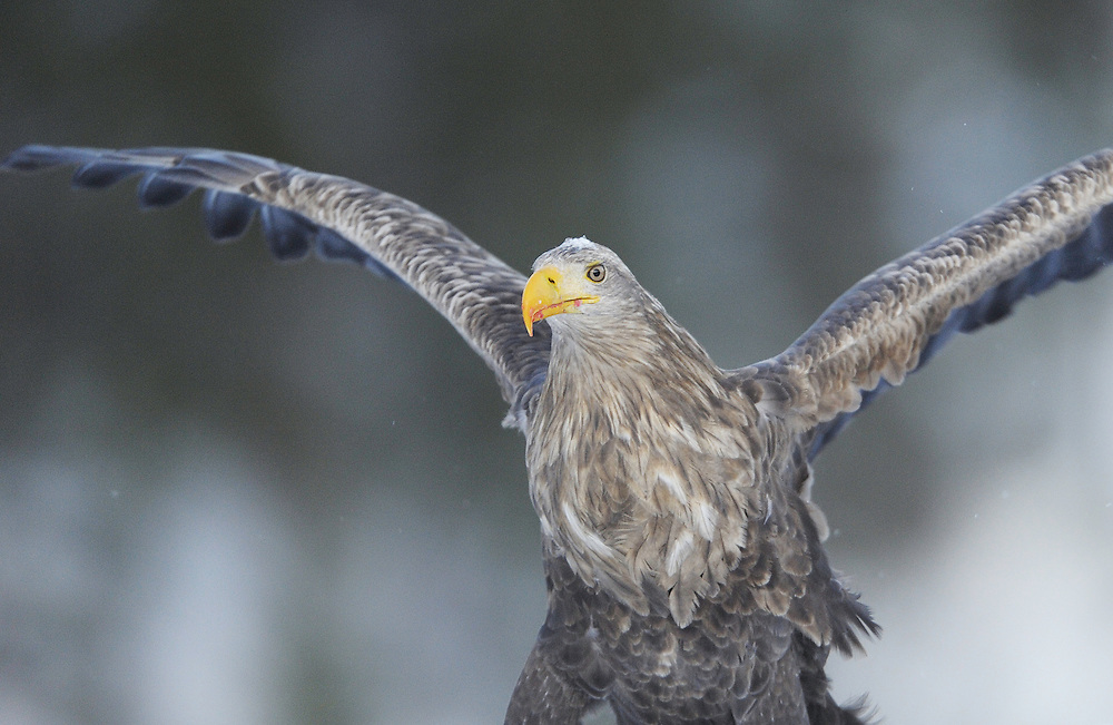 White-tailed sea eagle (Haliaeetus albicilla/ossifraga), Flatanger, Norway..