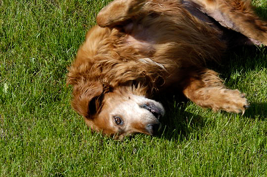 Golden Retriever Dog rolling on grass. Montana.