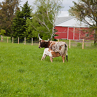 Texas Longhorn mother and nursing calf standing in a grass field with red barn in the background.