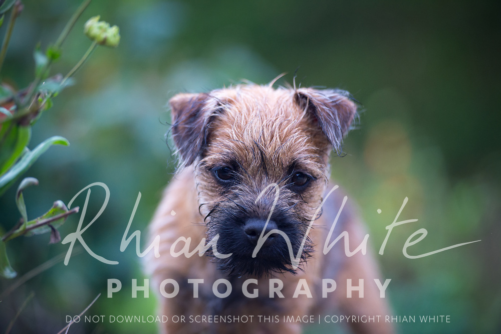 Pan the Border Terrier