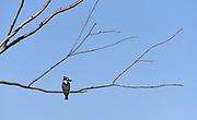 Pied Kingfisher (Ceryle rudis) perched on a branch with a blue sky background. Photographed in Israel Summer, July