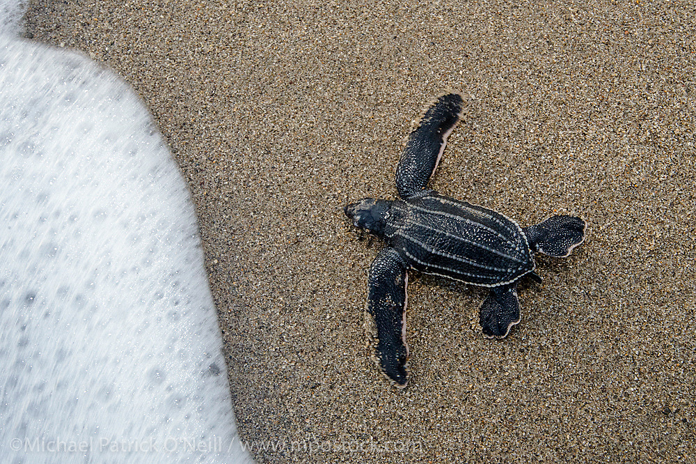 Leatherback Sea Turtle Hatchlings, Dermochelys coriacea, emerge from their nest at sunrise and make their way into the Caribbean Sea in Trinidad. Image available as a premium quality aluminum print ready to hang.