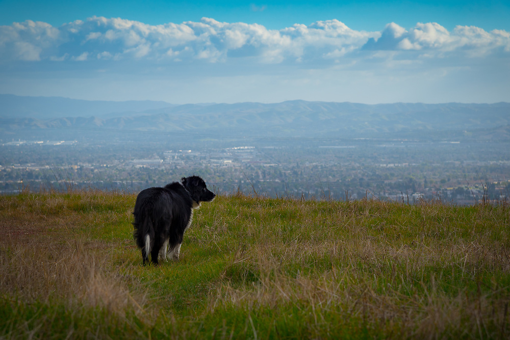 Old dog standing in a field with mountains, clouds and distant suburban landscape in the background.