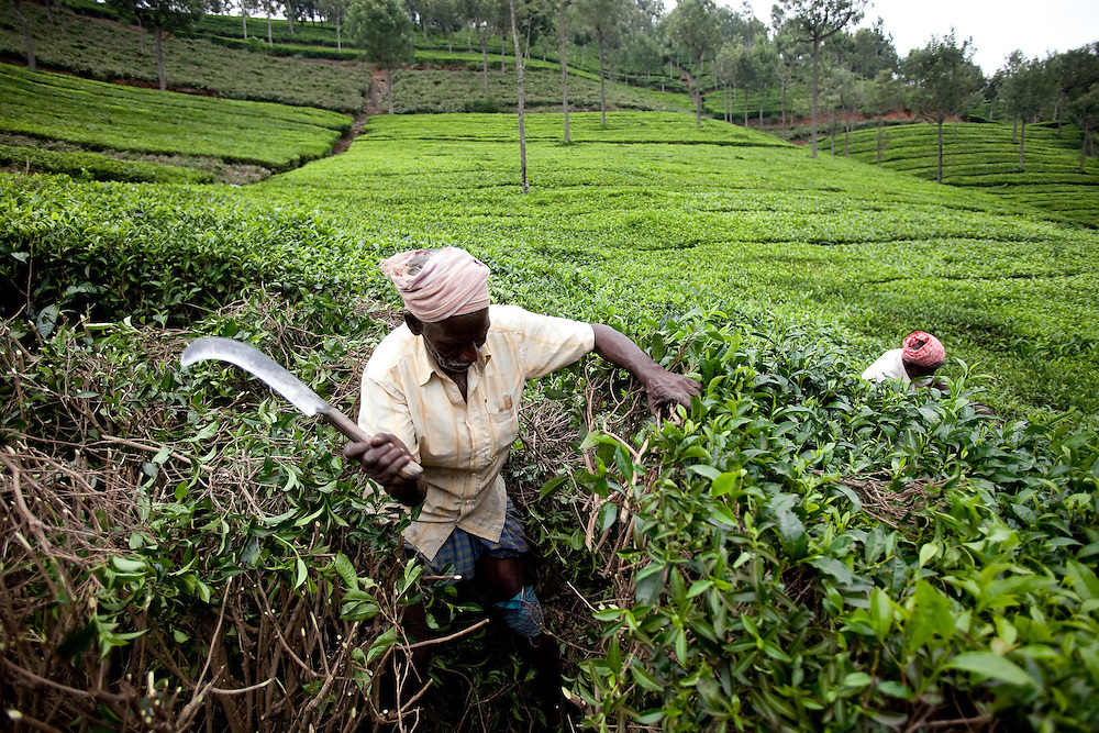 A worker prunes tea shrubs at a Tea estate in Conoor, India, on Thursday May 20, 2010. Photographer: Prashanth Vishwanathan/Bloomberg News