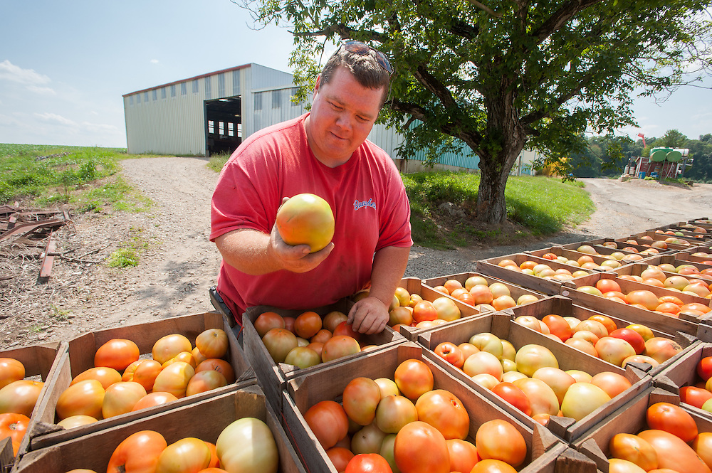 Farmer surveys his freshly harvested tomatoes in Westminster, Maryland, USA