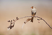 House Sparrow (Passer domesticus biblicus) on a branch, negev desert, israel
