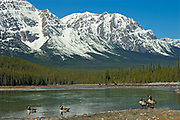 Canada geese (Branta canadensis) on the Athabasca River in the Canadian Rockies  <br />Jasper National Park<br />Alberta<br />Canada