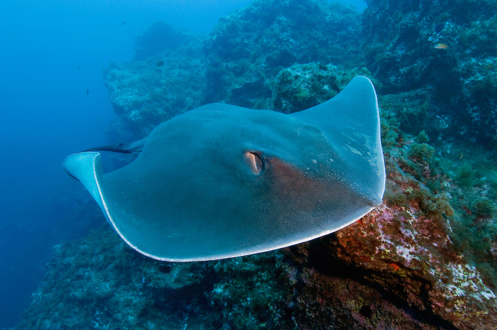 Round stingray, Taeniura grabata, Princess Alice, Azores, Portugal