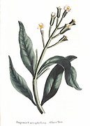 Clove - Eugenia aromatica: Native to Moluccas or Spice Islands, Indonesia. Dutch controlled trade during 1600s. In 1700s French smuggled out plants and broke monopoly. Hand-coloured engraving 1823.