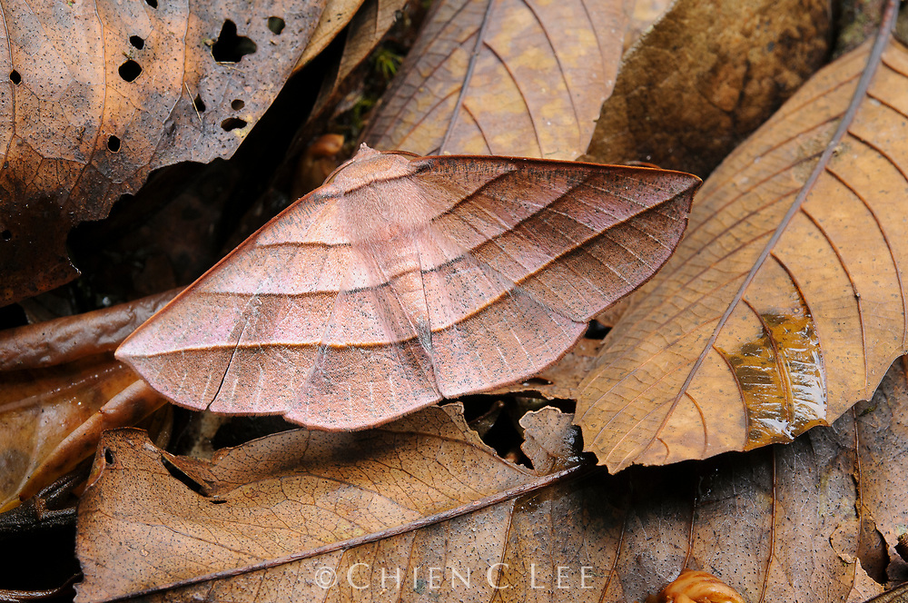 An elegantly camouflaged moth (Sarcinodes reductatus) from the montane forest of Mount Kinabalu, northern Borneo. This species also occurs in Java and Sumatra.