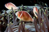 Pink Anemonefishes in host Anemone