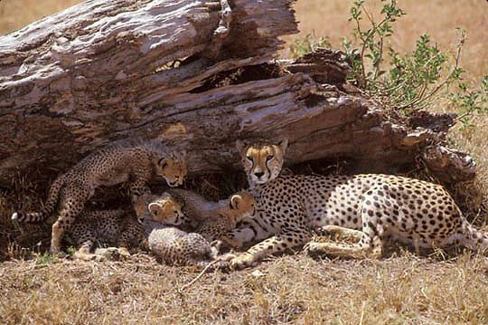 Cheetah, (Acinonyx jubatus) Mother and cubs resting in shade. Masai Mara National Reserve. Kenya. Africa.