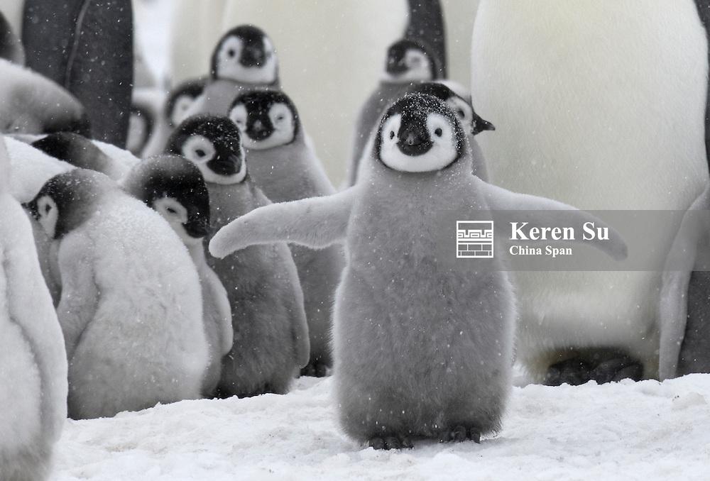 Emperor Penguin chicks in snow, Snow Hill Island, Antarctica