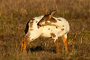 A piebald Columbian black-tailed deer (Odocoileus hemionus columbianus) grooms itself in a field in Pierce County, Washington. Piebaldism is caused by a genetic mutation that affects less than 2 percent of deer. Piebaldism differs from albinism in that piebald animals have cells that can produce pigment, but those cells don't. Piebald deer have a relatively low survival rate because they also often suffer from other deformities, particularly leg and spine issues.