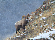 Bighorn Sheep, Yellowston National Park