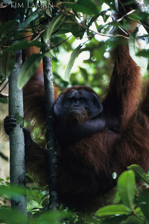 An adult male Bornean Orangutan (Pongo pygmaeus) named Jari Manis hangs from all four limbs.  Gunung Palung N.P., Borneo, Indonesia.