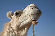 Camel face and head Sahara desert, Zagora, Morocco