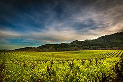 Harvesting zinfandel grapes.