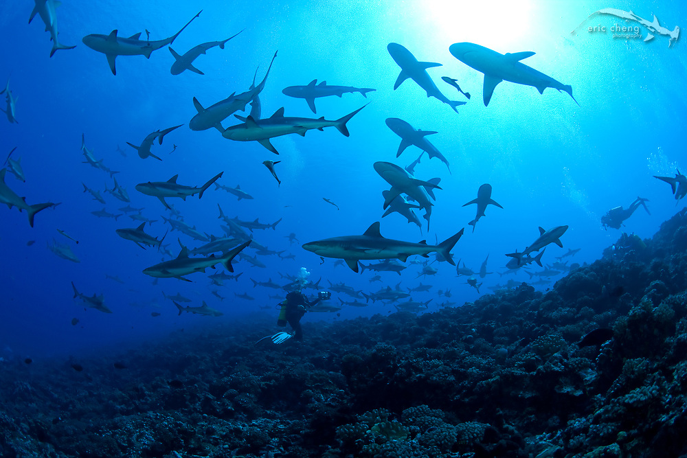 A diver in the middle of schooling gray reef sharks (Carcharhinus amblyrhynchos) at Fakarava's south pass, French Polynesia. Canon 1Ds Mark II, Canon 15mm f/2.8 fisheye lens, Seacam underwater housing. 1/160s @ f/9, ISO 200.