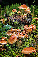 Wild mushrooms., Alberta, Canada, Isobel Springett