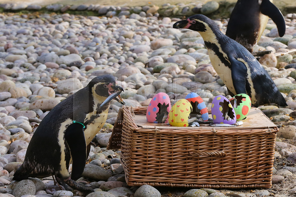 © Licensed to London News Pictures. 18/04/2019. London, UK. Humboldt Penguins (Spheniscus humboldti) are served their fishy breakfast in a bright Easter basket at London Zoo. Photo credit: Dinendra Haria/LNP