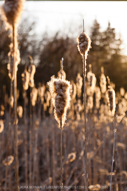 Cattails or Bullrushes (Typha latifolia)